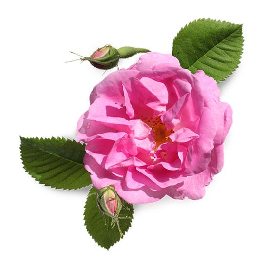 Αιθέριο Έλαιο Ροζ Τριαντάφυλλο (10ml)